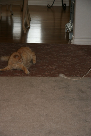 Lionel's favorite toy is a fuzzy rope.