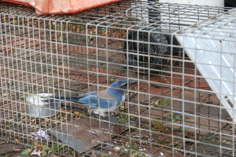 Blue Jay caught for the second time today.