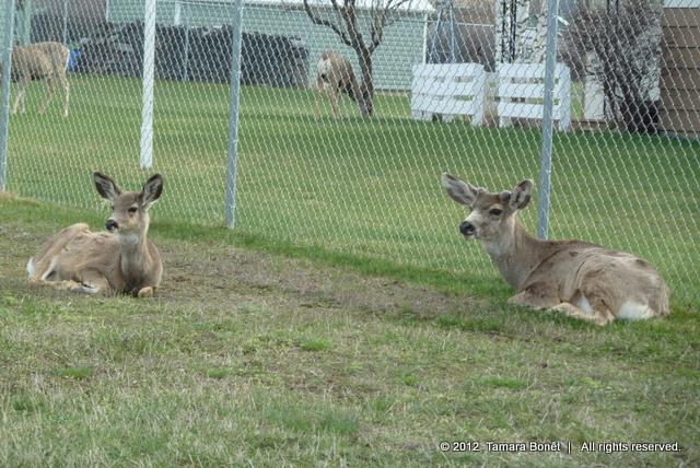 Deer peacefully lie down in back yard of Joseph, Oregon home.